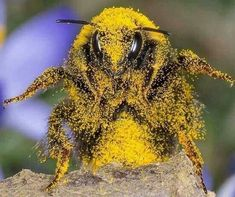 Bee Covered in Pollen. Bee Covered in Pollen. Beautiful Creatures, Animals Beautiful, Animals And Pets, Cute Animals, Buzzy Bee, I Love Bees, Bees And Wasps, Fotografia Macro, Beautiful Bugs
