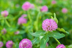 Trváca bylina s mnohohlavým koreňom, 15-40 cm vysokou vystupujúcou článkovanou stonkou s trojpočetnými listami a červenými, niekedy aj bielymi voňavými kvetmi (len farebná odchýlka) vo vajcovitých hlávkach, plody sú nepukavé struky. Na lístkoch sú zreteľné polmesiačikovité škvrny, občas sa môže stať že chýbajú. Wiccan, Plants, Plant, Planets
