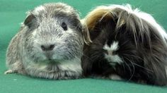 Savannah and Baleigh is an adoptable Guinea Pig Guinea Pig in Lewisville, TX. If you are interested in adopting please visit our website at � www.theguineapigrescue.com �and complete the on-line adopt...