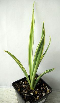 S. Parva white variegata