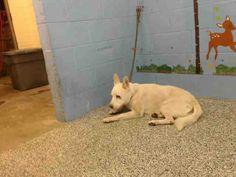 """12/28/16- BEAUTIFUL WHITE GERMAN SHEPHERD- """"DUMPED"""" AT AGE 11- SAD,DEPRESSED DOG- SO SWEET- WANTS SOMONE TO LIVE OUT THE REST OF HIS LIFE WITH- PLEASE HELP!- PetHarbor.com: Animal Shelter adopt a pet; dogs, cats, puppies, kittens! Humane Society, SPCA. Lost & Found."""