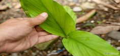 Vous aimeriez faire pousser du gingembre chez vous ? Voici quelques conseils pour réussir à faire pousser du gingembre facilement !