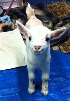 My friend brought her goats inside during the recent cold spell. I think this little guy appreciated it. - Imgur