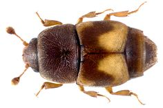 Family: Nitidulidae Size: 3,4 mm (2-4 mm) Origin: cosmopolitan Ecology: is brought in from warmer countries and naturalized, living on dried fruit Location: Germany, Bavaria, Upper Franconia, Kulmbach leg.det. U.Schmidt, 10.VIII.1973 Photo: U.Schmidt, 2013