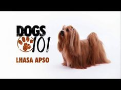 Lhasa Apso Puppies for Sale - Puppies 4 All Lhasa Apso Puppies, Chinese Dog, Dogs 101, Funny Times, Love Pet, Dog Behavior, Cocker Spaniel, Big Dogs, Puppies For Sale