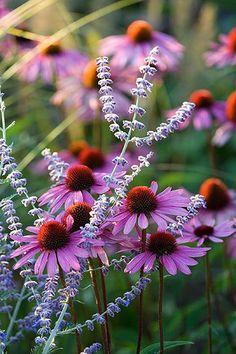 Russian Sage  Echinacea - Drought tolerant plants #droughttolerantplants #coneflower
