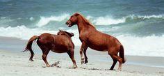 Assateague wild ponies