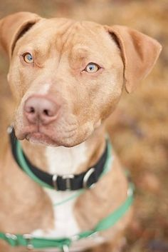 After spending 464 days at Milton Animal League, Hubert the pit bull terrier mix found a forever home. He'll never have to spend another Christmas in the shelter again!