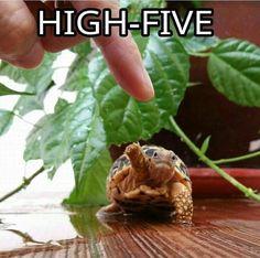 High five turtle lovers! It's international turtle day! Star tortoise high-five Cute Tortoise, Baby Tortoise, Tortoise Turtle, Turtle Time, Pet Turtle, Tiny Turtle, Baby Sea Turtles, Cute Turtles, Cute Little Animals
