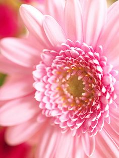 The gerbera plant – with it's large, daisy-like flowers – comes from the sunflower family, and is the fifth most-used cut flower Types Of Flowers, Pink Flowers, Beautiful Flowers, Autumn Flowers, Pink Petals, Flower Close Up, My Flower, Macro Flower, My Funny Valentine