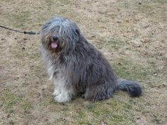 bergamasco shepherd dog photo | Grooming the Bergamasco - Luna - (540x405 - 73kB)
