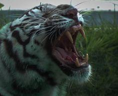 Royal_Bengal_Tiger's_large_piercing_canine_teeth.jpg 1,674×1,375 pixels