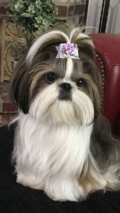 Here are some great Shih Tzu names in case you happen to be looking for names for your new shih tzu! Here are some& The post Here are some great Shih Tzu names in case you happen to be looking for names fo& appeared first on Coulson Puppies. Shih Tzu Hund, Perro Shih Tzu, Shih Tzu Puppy, Shih Tzus, Shitzu Puppies, Teacup Puppies, Dogs And Puppies, Teacup Chihuahua, Bichon Frise