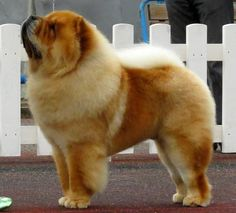 Chow Chow - Wikipedia, the free encyclopedia