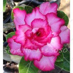 5 pcs/bag Desert Rose seeds adenium obesum seeds Bonsai Flower seeds potted plant for home garden 100% true seed