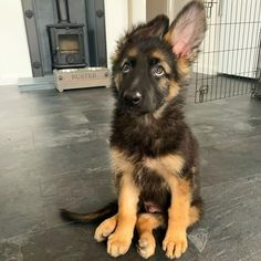 mastered the 'puppy dog eyes' 🥺 Follow Buster 👉 @buster_thegermanshepherd  #germanshepherds#germanshepherdmemes#germanshepherdphotos#germanshepherddog #gsdstagram#germanshepherdpictures#gsd#gsdphotos #gsdpictures #germanshepherdpuppy #germanshepherdpuppies German Shepherd, German Shepherds, german shepherd community German Shepherd dog, german shepherd memes, german shepherd photos, gsdstagram, german shepherd pictures, gsd, gsdphotos, gsd pictures German Shepherd Memes, German Shepherd Pictures, German Shepherd Puppies, German Shepherds, Puppy Dog Eyes, Dogs And Puppies, Corgi, Community, Cute