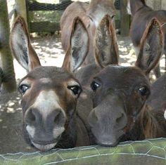 """""""Donkey"""" from Shrek on the left!"""