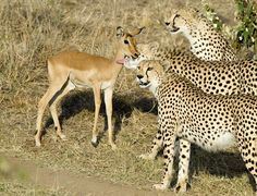 For most antelopes, a play date with three deadly cheetahs is best avoided. Luckily for this baby impala the three cheetahs were not hungry and ended up playing a while.