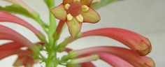 Dermatobotrys saundersii by begoniacrazii