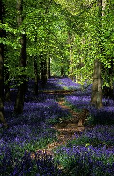 Ashridge Park, Hertfordshire, UK | National Trust Woodlands carpeted with English Bluebells in Spring