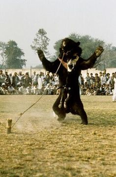 Bear baiting in Pakistan. These bears have their teeth and claws removed and are tied up. What chance do they have against hungry dogs(who are cruelly trained to attack these bears)  For 'entertainment'   This needs more awareness. Please help.