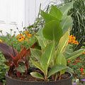 Top Foliage Plants: Canna