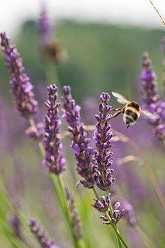 Bee at work on lavender Lavender Cottage, French Lavender, Lavender Blue, Lavender Fields, Lavander, Lavender Garden, Purple Garden, Lavender Flowers, Provence
