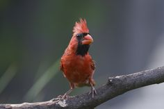 Ready to Level Up - Cardinal perched in the garden looking me over.