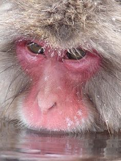 Snow Monkey . Japan