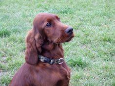 Lofty - Irish Setter puppy