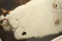 Fat cat on glass. (originally seen by @Magnolialad1 )
