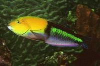 Species Gallery - Caribbean | Reef Environmental Education Foundation (REEF)