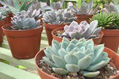 Local Love: Luecadia Succulents // via localbelle.com