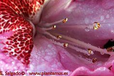 Flor de rododendro
