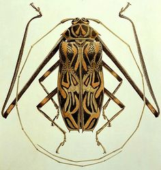 Brigid Edwards | Acrocinus longimanus (Harlequin Beetle), 2005 Cool, interesting shape and colours