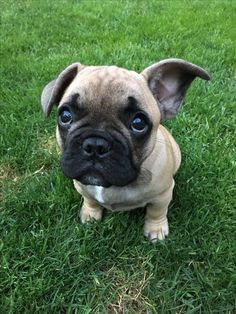 To hard to resist! French bulldog puppy / frenchie / Franse bulldog / Franse bulldog pup