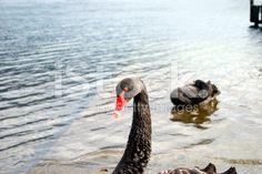 A pair of Black Swans swim in Lake Rotoiti, Nelson Lakes National. Long White Cloud, Black Swan, Lakes, National Parks, Royalty Free Stock Photos, Birds, Animals, Image, Animales