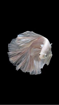 Some interesting betta fish facts. Betta fish are small fresh water fish that are part of the Osphronemidae family. Betta fish come in about 65 species too! Beautiful Creatures, Animals Beautiful, Cute Animals, Black Animals, Animals Amazing, Poisson Combatant, Carpe Koi, Siamese Fighting Fish, Water Life