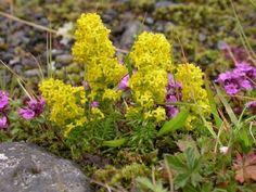 Wild Flowers, Flora, Remedies, Diet, Therapy, Plant, Plants
