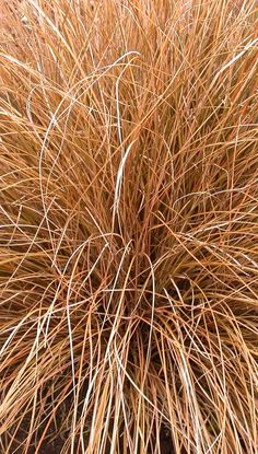 Carex flagellifera; Sedge Auburn. 2011.