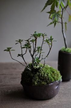 Love the look of this Japanese moss ball - gonna try it with succulents. Ikebana, Indoor Garden, Indoor Plants, Outdoor Gardens, Indoor Bonsai, Bonsai Garden, Garden Plants, String Garden, Plantas Bonsai