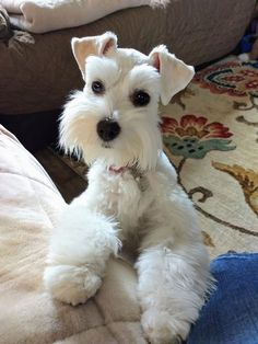 Ranked as one of the most popular dog breeds in the world, the Miniature Schnauzer is a cute little square faced furry coat. Schnauzers, Miniature Schnauzer Puppies, Schnauzer Puppy, Pet Puppy, Miniature Dogs, Fox Terriers, Chien Fox Terrier, Schnauzer Grooming, Dog Grooming