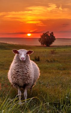 Sheep Sunset by simongr on 500px