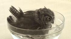Baby owl taking a bath.
