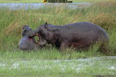 Hippo attack, by Fred von Winkelmann. A mother hippo valiantly defends her calf from the attack of two male hippos. Photographed near Moremi...