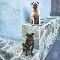 """I keep telling Kubrick to get on my level."" -Ozzy  w/@furfam by meanmugpug #lacyandpaws #mypugfriends #pug #pugs #puglife #pugsofinstagram #puggle #puglove #pugpuppy #pugstagram #instapug #pugnation #pugworld #puglover"