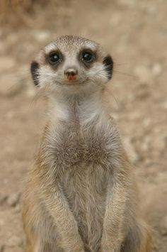 Meerkat with a smile for you !!