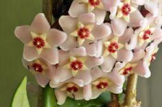 Anne çiçeği