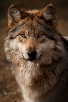 Mexican Gray Wolf - © Scott Denny 2012