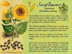 Sunflowers | Pagans & Witches Amino